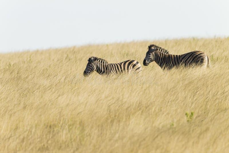 Zebras Two Grassland Wildlife stock photos