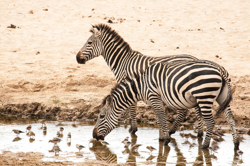 Zebras. Two zebras in a pool royalty free stock photo