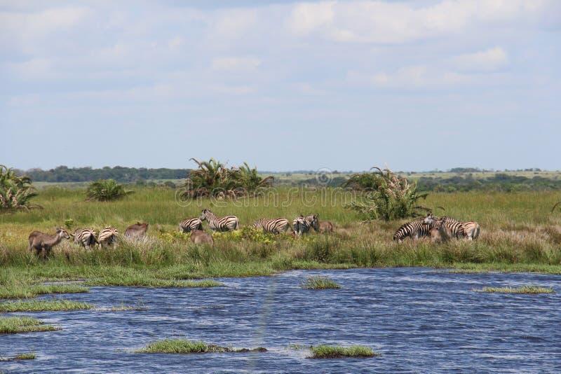 Zebras und Antilopen auf einem Teich stockfotos