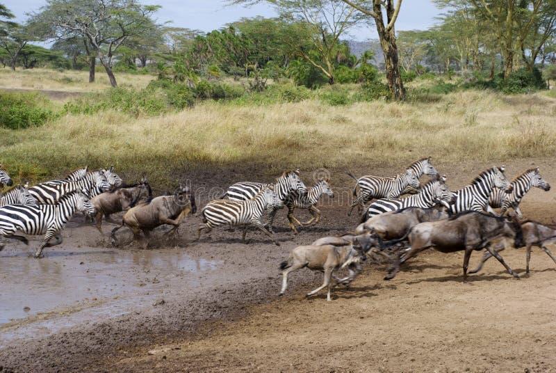 Zebras und Gnubetrieb lizenzfreie stockfotografie