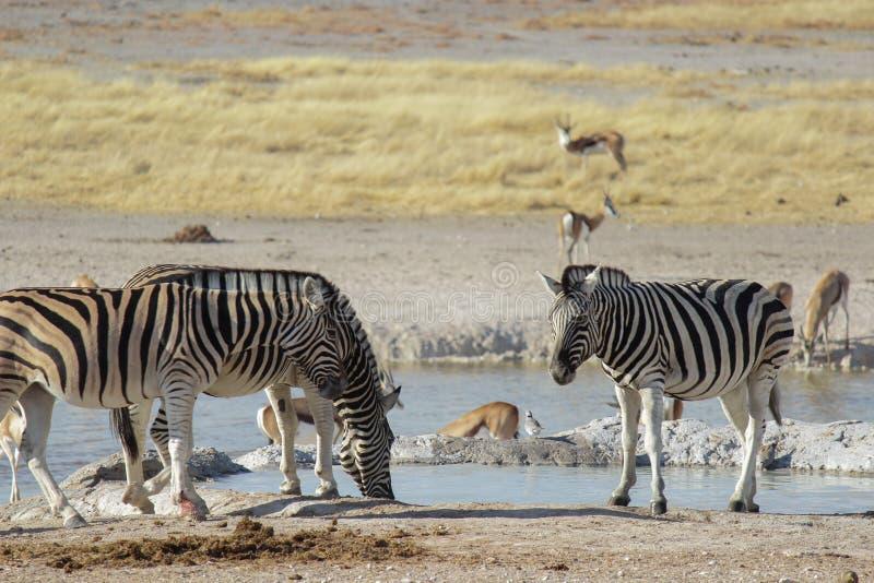 Zebras und Trinkwasser des Springbocks in einem waterhole in Nationalpark Etosha lizenzfreie stockfotografie