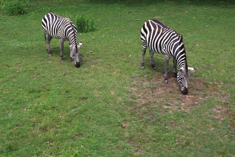 Zebras van de dierentuin stock foto's