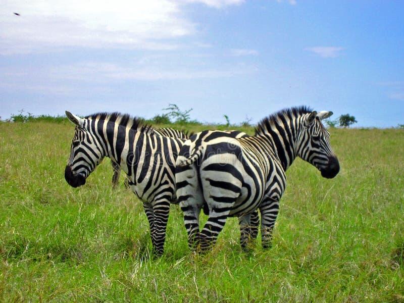 Zebras van Ethiopische savanne stock afbeelding