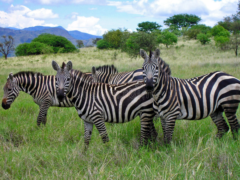 Zebras van Ethiopische savanne stock foto's