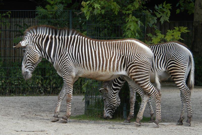 Zebras van Grevy stock foto