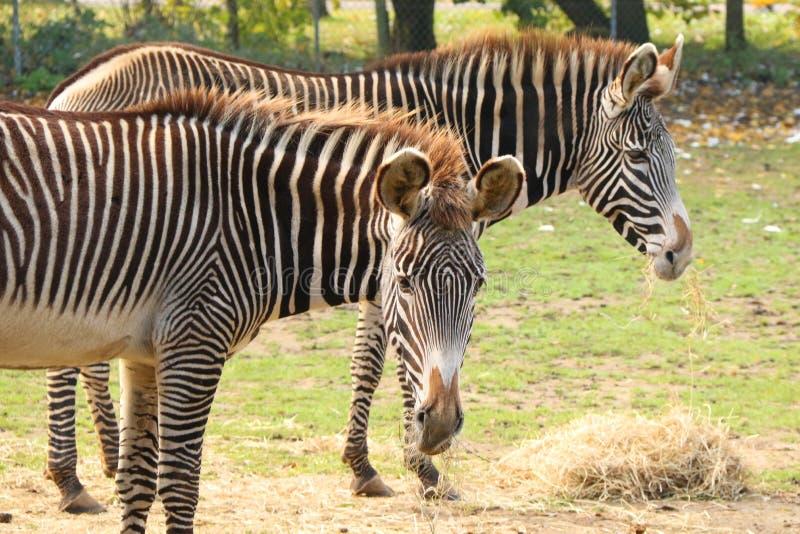 Zebras van Grevy bij Banham-Dierentuin stock afbeelding