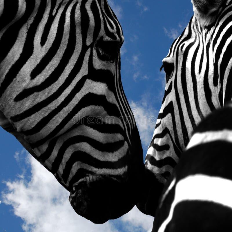 Zebras van Nuzzling stock afbeelding