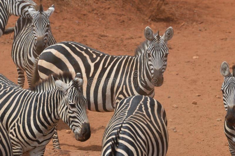 Zebras verzamelt zich in het stof stock foto