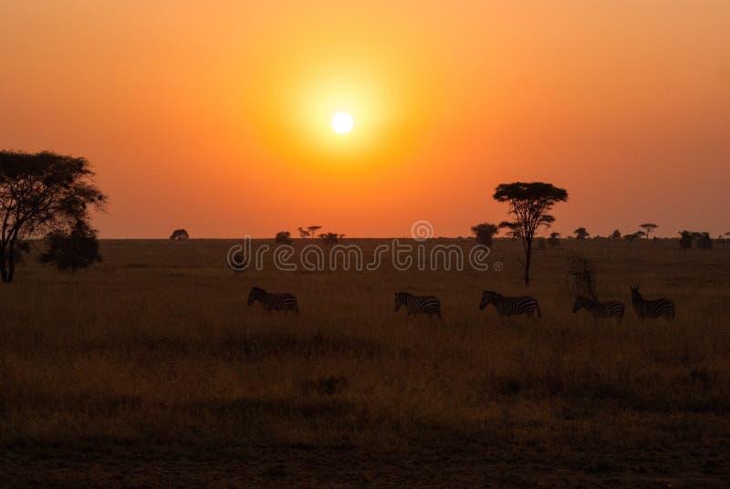 Zebras in front of the rising sun in Serengeti. Zebras walking in line in front of the rising sun in Serengeti royalty free stock photo