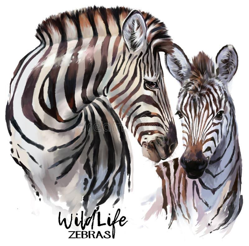 Zebras watercolor painter royalty free illustration