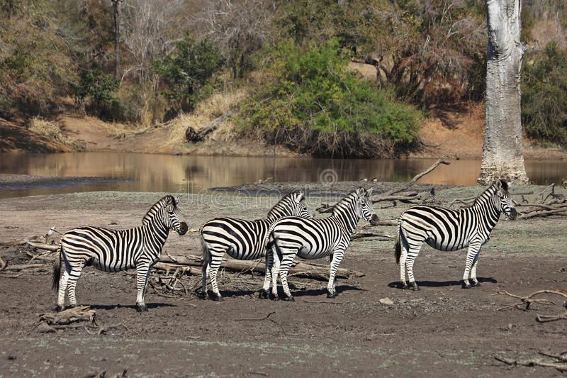 Zebras at a waterhole stock images