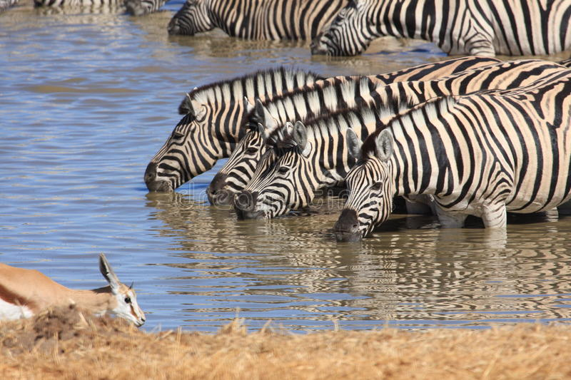 Zebras at a Waterhole. In etosha royalty free stock images