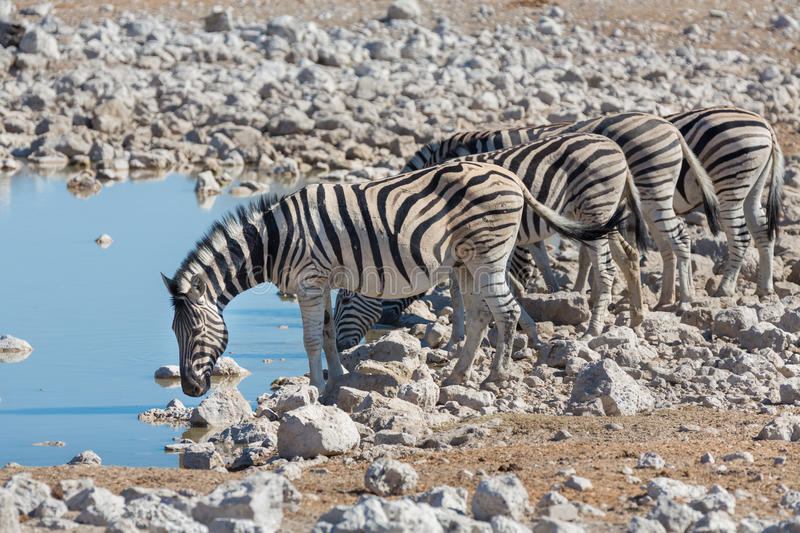 Zebras at waterhole. Side view of group of zebras at waterhole stock images