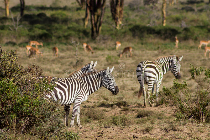 Zebras in wild nature stock images