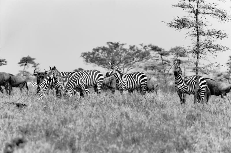 Zebras and Wildebees - Gnus - in Serengeti, Tanzania, black-and-white photography royalty free stock images