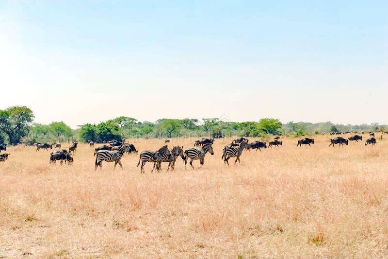 Zebras and Wildebeest - Gnus in Savanna of Serengeti, Tanzania, Africa royalty free stock image