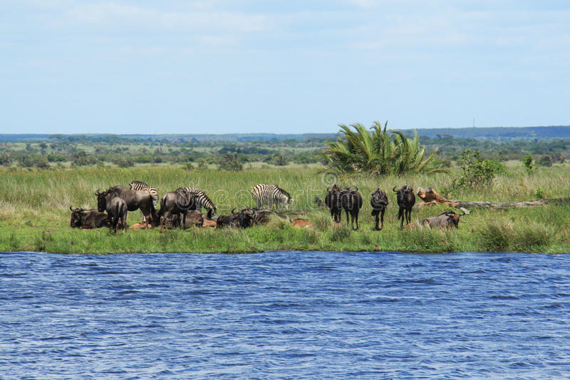 Zebras and wildebeest on a pond. Zebras and wildebeests drinking near a natural pool, at St. Lucia Wetland Park, KwaZulu-Natal province, South Africa stock photos