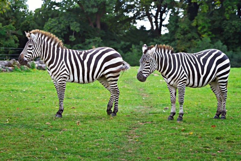 Download Zebras In The Wildlife Park Stock Image - Image: 24096367