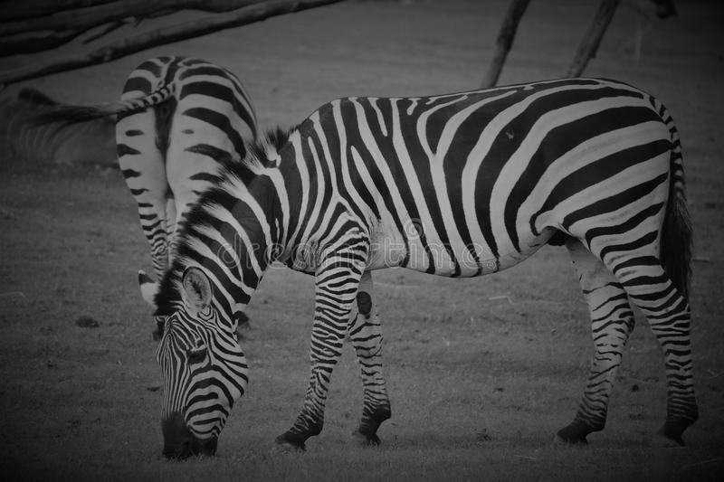 Zebras. Are several species of African equids horse family united by their distinctive black and white stripes stock photography