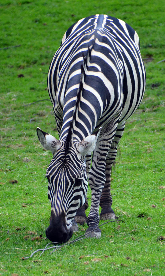 Zebras. Are several species of African equids horse family united by their distinctive black and white stripes royalty free stock image