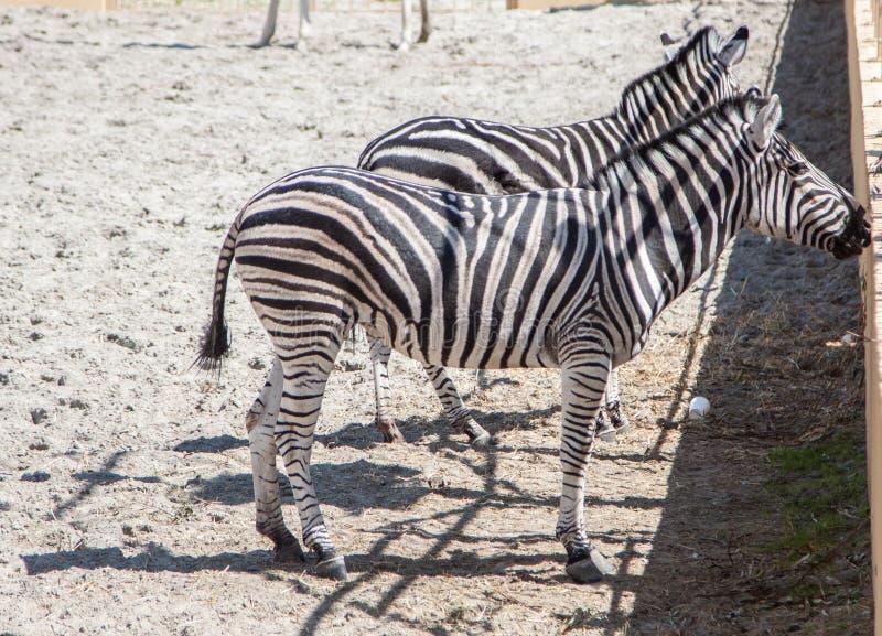 Zebras in the zoo. Portrait of zebras in the zoo royalty free stock photo