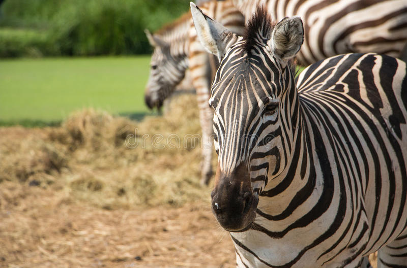 Download These zebras in zoo vast. stock image. Image of black - 83713433