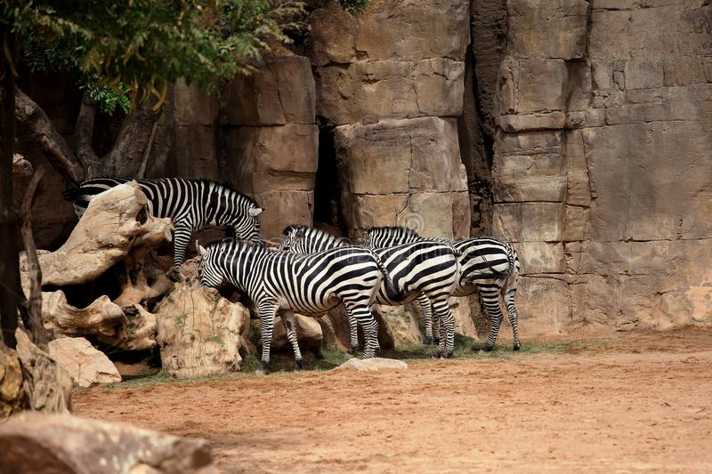 Zebras in the zoo royalty free stock photo
