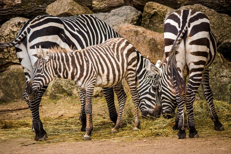 Zebras from the zoo. Park royalty free stock images