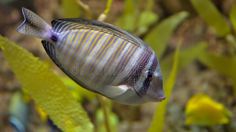 Zebrasoma black-striped sailing in an aquarium. Zebrasoma sailing black-band is widespread in the Pacific Ocean. Fish can be found from the coast of Indonesia to royalty free stock image