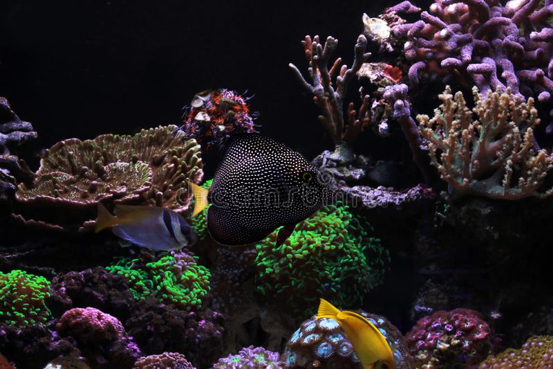 Zebrasoma gemmatum - Μαυρίκιος Gem tang στοκ φωτογραφία