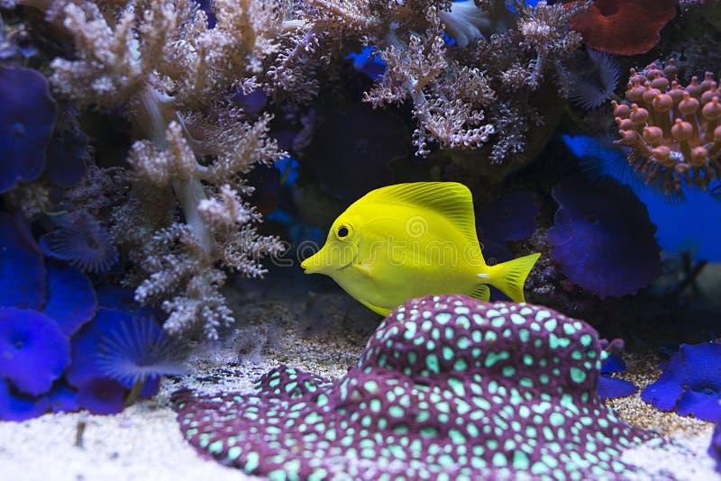 Zebrasoma salt water aquarium fish. View at beautiful zebrasoma salt water aquarium fish stock photo