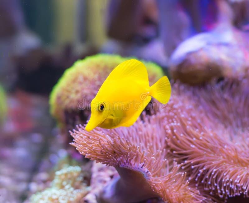 Zebrasoma salt water aquarium fish. A zebrasoma salt water aquarium fish stock photography