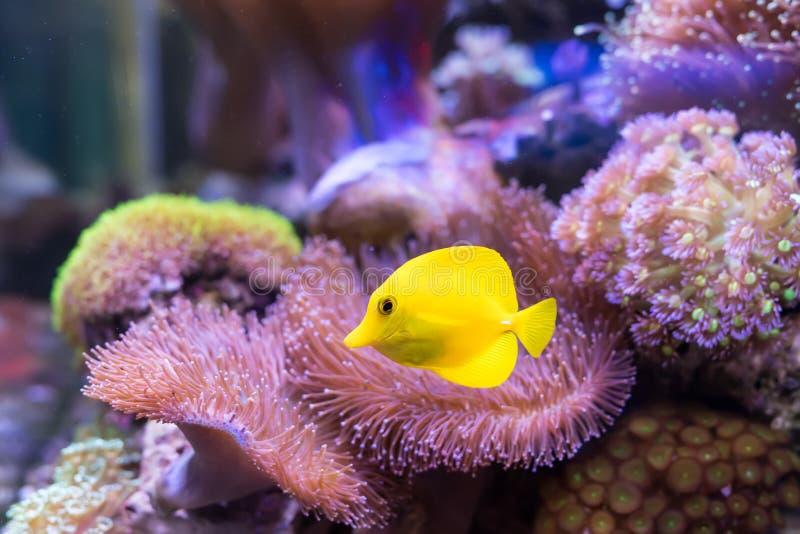 Zebrasoma Salzwasser-Aquariumfische stockbild