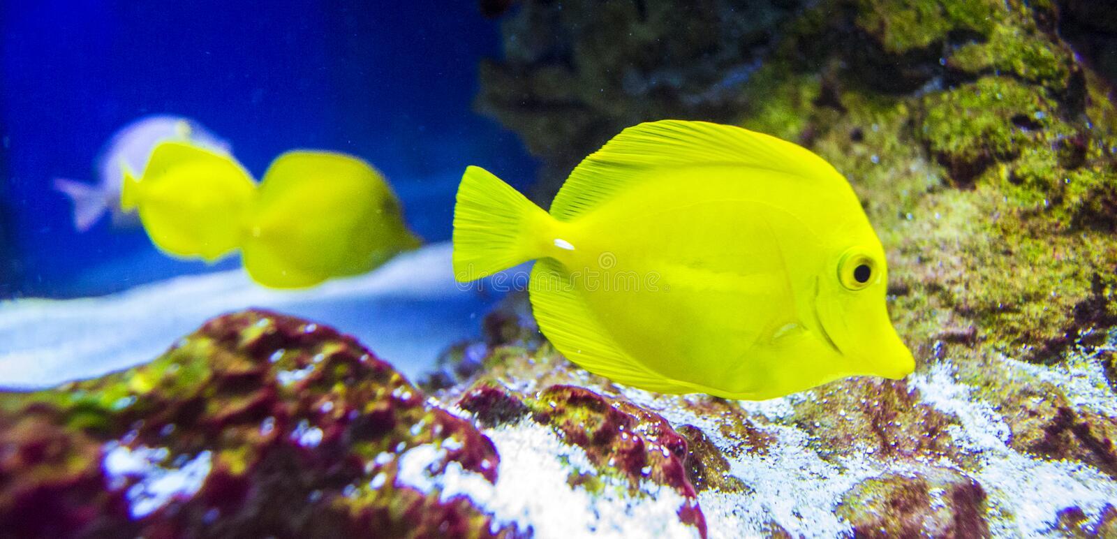 Zebrasoma yellowtail royaltyfria bilder