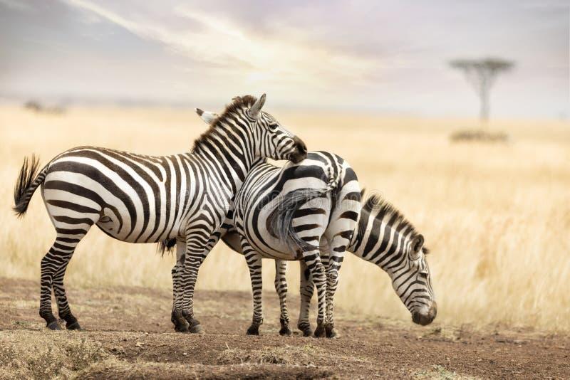 Zebratrio auf das Masai Mara an der Dämmerung stockfotos