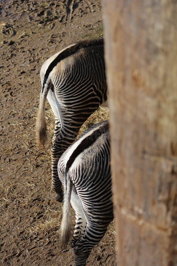 Zebraunterseiten zwei von ihnen lizenzfreie stockfotos