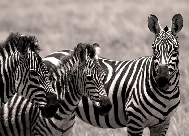 Zebre fotografia stock libera da diritti