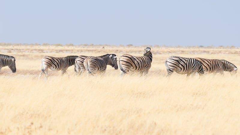 Zebre che pascono nel cespuglio, savana africana Safari della fauna selvatica, parco nazionale di Etosha, riserve faunistiche, Na immagine stock