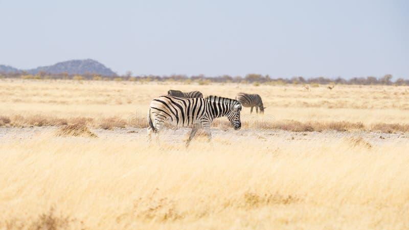 Zebre che pascono nel cespuglio, savana africana Safari della fauna selvatica, parco nazionale di Etosha, riserve faunistiche, Na fotografia stock