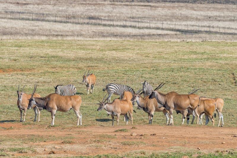 Zebre di Burchells e un gregge dell'eland comune immagini stock