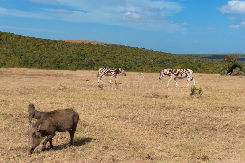 Zebre e facoceri che pascono il paesaggio africano della savana Azionamento della selvaggina, scena africana di safari fotografia stock