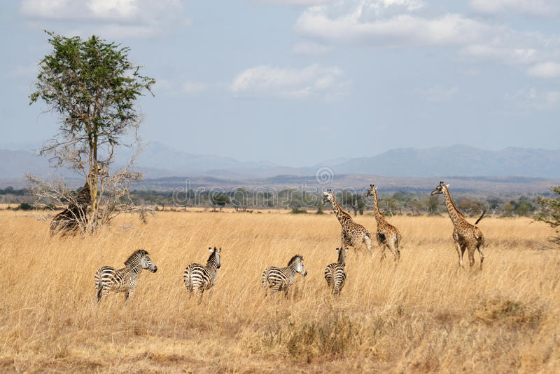 Zebre e giraffe fotografie stock