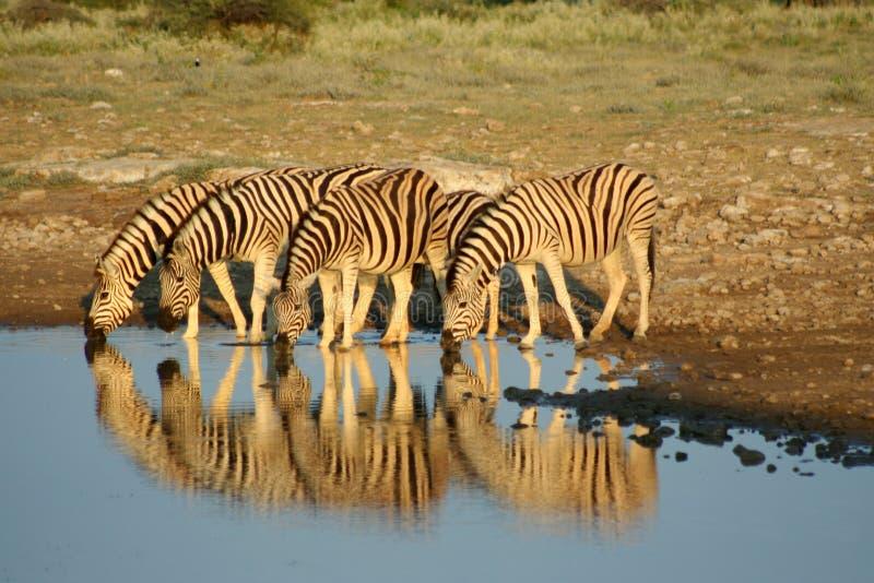 Zebre in Etosha NP, Namibia immagini stock