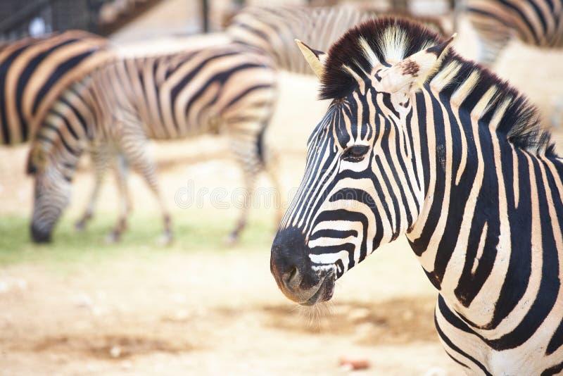 Zebre in giardino zoologico immagini stock libere da diritti