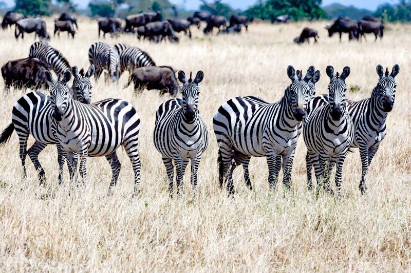 Zebre insieme in Serengeti, Tanzania Africa, gruppo di zebre fra gli gnu immagine stock