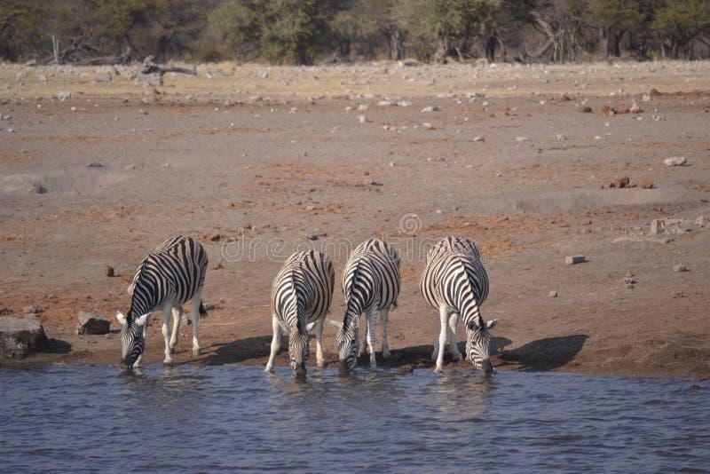 Zebre nel parco nazionale di Etosha fotografia stock