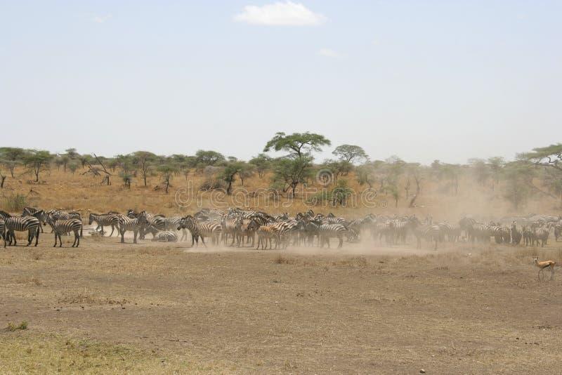 Zebre nel parco nazionale di Serengeti, Tanzania, Africa fotografie stock libere da diritti