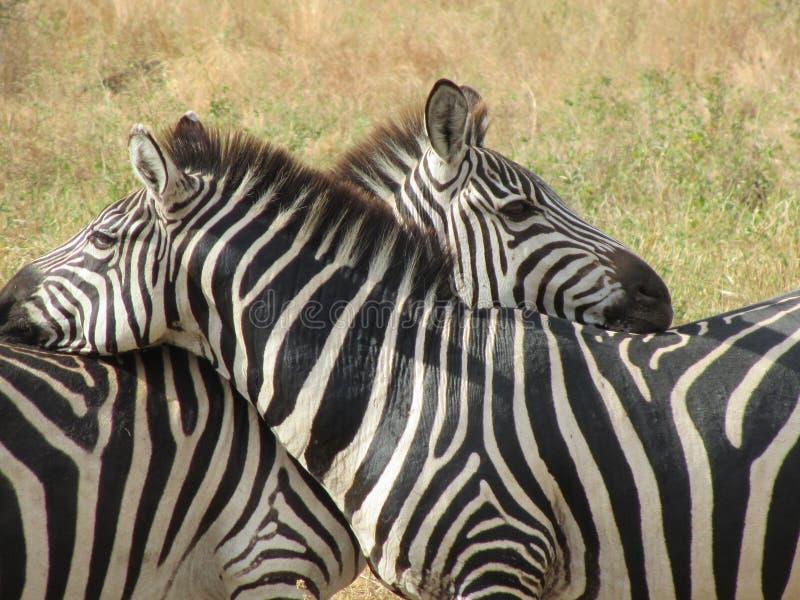 Zebre nell'amore immagine stock libera da diritti