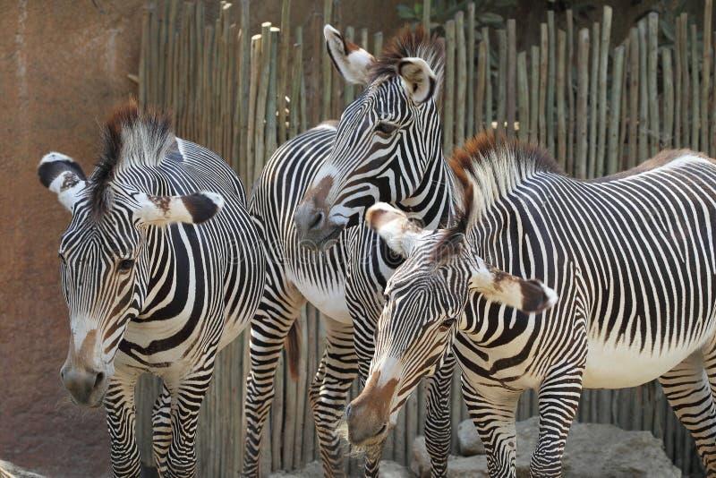 Zebry zdjęcie stock