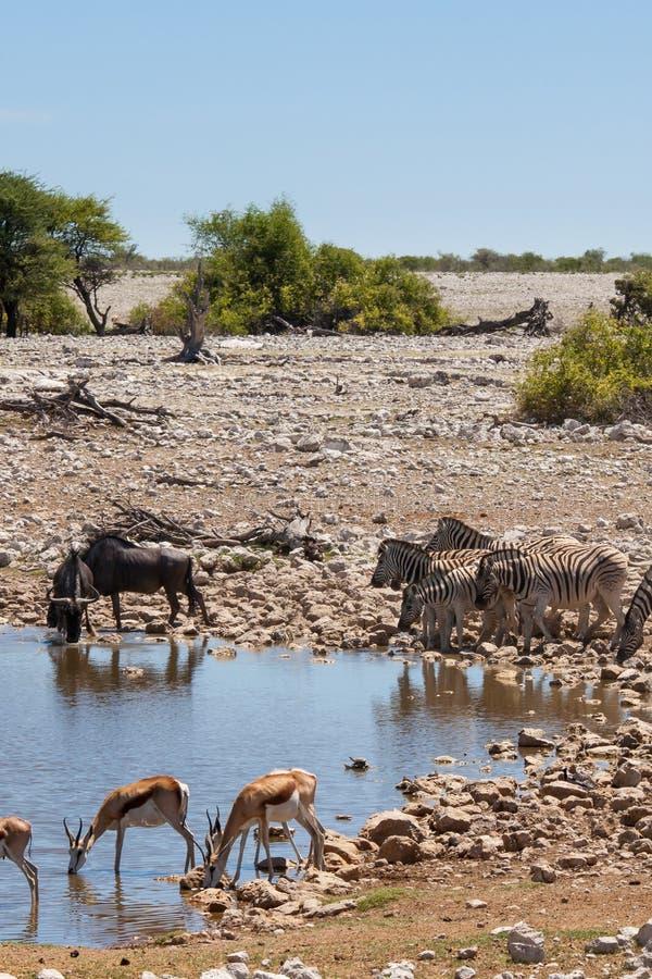 Zebry, antylopy, Wildebeests przy Waterhole w Etosha parku narodowym, Namibia obraz stock